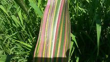 Zea mays Orbea 10 semi freschi dal mio stesso giardino!