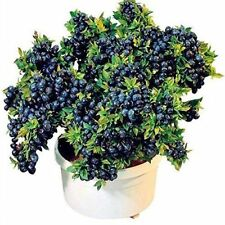 300 SOUTHERN BLUEBERRY SEEDS EVERGREEN SHRUB HIGH TOLERANCE TO HEAT