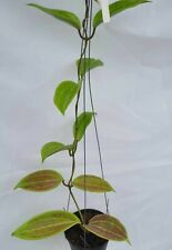 Hoya merrillii red leaves 3B2,1 pot rooted plant20-22 inchesVery Rare!
