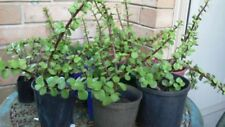 Cutting/Leaf Peat Evergreen Plants & Seedlings