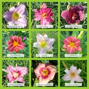 9er-Set Taglilien 'Rosaroter-Mix' im 1 Liter Topf, Hemerocallis, Japangarten