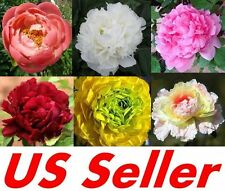 20Pcs New Fancy Peony Seeds Chinese Peony Seeds Beautiful Garden Flower Blooming