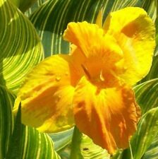 CANNA Tropicanna GOLD. A stunning plant for a large container on a sunny patio.