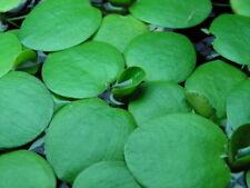 6 Amazon Frogbit Limnobium laevigatum Live Floating Plants Java moss