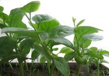 Red VinespinachVegetable Seed 30 seeds Malabar Spinach Garden yard Patio Bonsai