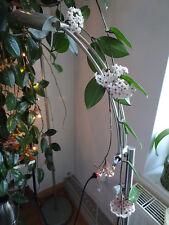 Hoya carnosa 1 Ableger Porzellanblume mehrfarbig Wachsblume bewurzelter Ableger