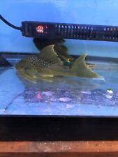 L200 Green Phanton Pleco 6 inch Tropical Live Fish Inch. Live Fish
