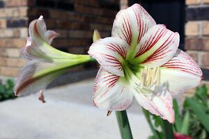 AMARYLLIS Hippeastrum 12 Seeds White / Dark Pink Stripes Spring 2021 Louisiana
