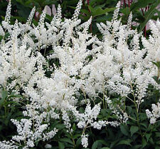 Astilbe Gladstone 100 Bare Root Divisions
