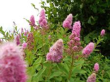 Pflanze/Strauch Kolbenspiere pink.,.