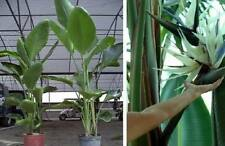 Weiße Strelitzie Blume für drinnen Zimmerpflanze exotische Zimmerpalme Duft Deko