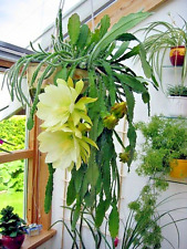 2 GIANT YELLOW Epiphyllum Hylocereus CUTTINGS Orchid Cactus SUCCULENT PLANT ALOE