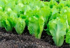 Emerald Salad seeds Vegetable from Ukraine