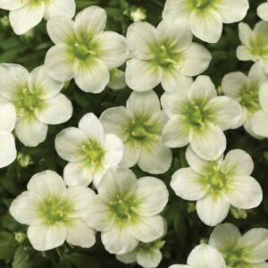 Saxifrage 'Buttercream' XL Plug Plants x 2. Ground cover. Alpine plants.