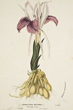 Litho Van Houtte XIX° Botanique Kaempferia Rotunda Zingibéracées Inde