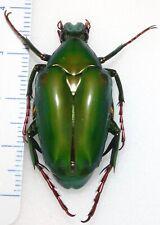 Cetoniinae Chalcothea affinis 35mm Indonesia #SM-14 Beetle Insect Entomology