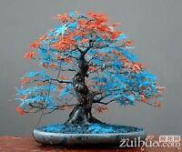 20 pcs Rare blue Japanese maple Seeds Bonsai Tree Plants Pot home garden
