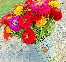 301+GIANT CALIFORNIA ZINNIA MIX Flower Seeds 5