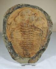 More details for fossil trilobite - cambropallas - cambrian age - morocco - 150mm
