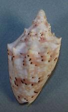 VOLUTA WOOLACOTTAE 68.78mm BEAUTIFUL SPECIMEN Bloomfield Reefs, Qld., Australia