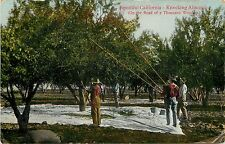 Vintage Postcard; California Agriculture Knocking Almonds, Shaking trees