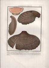 1776-1783 Large Original Antique print Bulliard Boletus Cuticularis Fungi