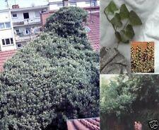 Immergrünes Efeu - Kletterpflanze mit Haftwurzeln / mit Beeren für Vögel / Samen
