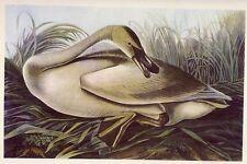 1930s Original Vintage Audubon Trumpeter Swan Bird Art Print