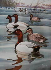 Canvas Back Ducks, by F.L. Jaques  40s print