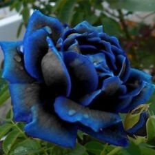10 Pcs Lover Charming Bush Midnight Supreme Seeds Rare Garden Blue Rose Seeds
