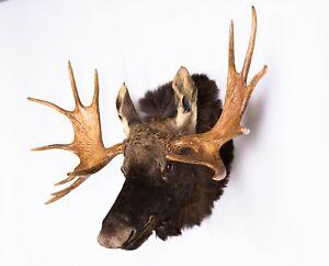 Taxidermy Moose Shoulder Mammal Real Stuffed animal mount