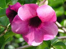 One Dozen Seeds: Cherry Jubilee Allamanda Flowering Large Bushy Plant