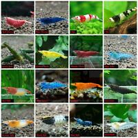 Pack 10 +1 High Quality Freshwater Aquarium Shrimp. Live Guarantee. All in One