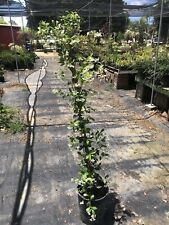 "Live Jasmine - ""Star"" Jasminum Vines 3 Ft Tall Staked In 5 Gallon Pot Fragrance"