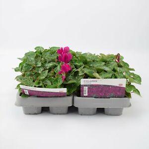 2 X Cyclamen Purple 6 Pack (12 Plants)