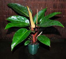 "Beautiful Philodendron 'Rojo Congo' Tropical Houseplant Shipped in 6"" Pot 51"