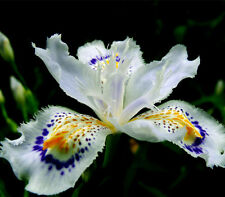 Japanese Iris Japonica Flowers Seeds 100PCS White Iris Orchid seeds