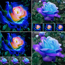 50pc Rare Blue Pink Roses Plant Seeds Balcony Garden Potted Rose Flowers Seeds