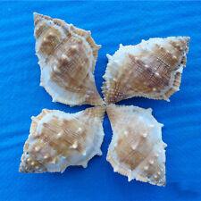 100% Natural Beautiful top rare real sea Shell Conch YA026