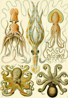 Ernst Haeckel Ocean Sea Octopus Biology Science Painting Real Canvas Art Print