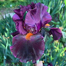 "Tall Bearded Iris Rhizome ""Dracula's Kiss"" Last One!"