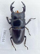 Tm83244 lucanidae Dorcus hopei ssp 52mm Liaoning