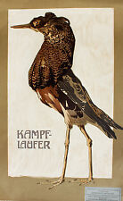 Schnepfen-Vögel Kampfläufer Schnepfe Eurasien Tundra Ruff Schnabel Kralle Feder