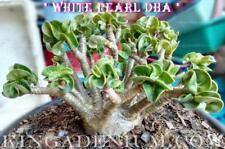 20pcs Spindrift White Desert Rose Seeds Adenium Obesum Seeds Hige Germiantion