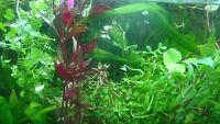 50 Live Aquarium Plants Collection Of Aquatic Plants For Your Fish Tank