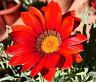 GAZANIA KISS FROSTY RED Gazania Rigens - 200 Bulk Seeds