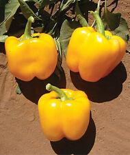 ORANGE GOLD BELL sweet  pepper 100 seeds NON GMO from Moldova