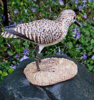 Stilt Sandpiper Shore Bird