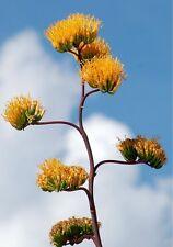 50 SEMI-golden-flowered AGAVE-Agave chrysantha