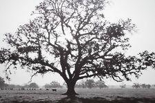 Ansel Adams Framed Art Print Oaktree Sunrise Lithograph Black & White